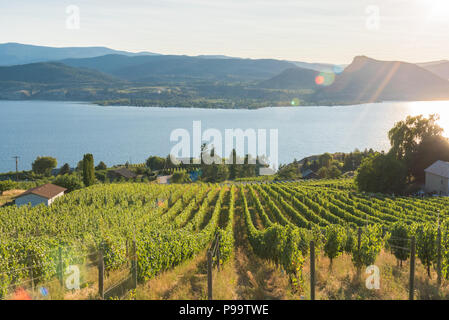 Rows of grapevines on hillside vineyard with lake and mountains in background and setting sun - Stock Photo