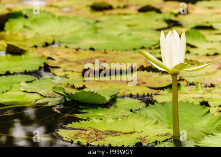 Single white water lily growing in a pond in Montego Bay, Jamaica. - Stock Photo