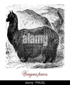 Vintage engraving of alpaca or vicugna pacos, South American camelid livng in herds grazing at Andes height, bred for the fibers knitted and woven.
