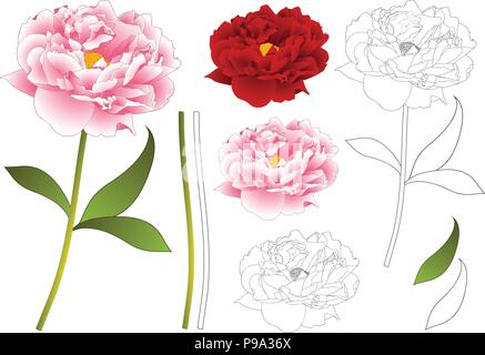 Pink and Red Peony Flower Outline. isolated on White Background. Vector Illustration. - Stock Photo