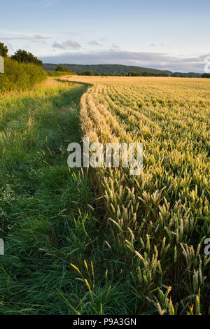 A wheat field in summer in Somerset, England. - Stock Photo