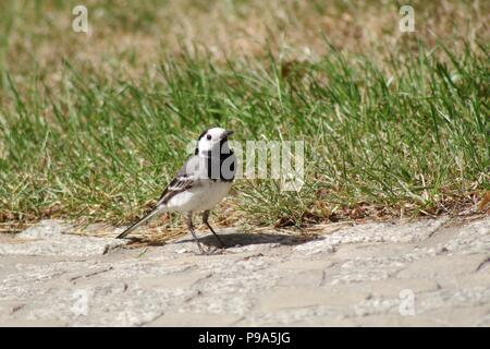 White wagtail (Motacilla alba) in sunlight - Stock Photo