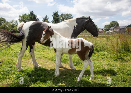 two week old foal with brown and white fur out in a field in the sunshine  on a beautiful summers day in the English Countryside - Stock Photo