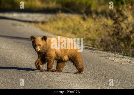 Black Bear (Ursus americanus) Young blonde cub, crossing road, in search of food. Waterton National Park, Albeta, Canada - Stock Photo
