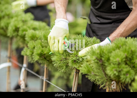 Worker pruning ornamental trees with cutter in the greenhouse, close-up view - Stock Photo