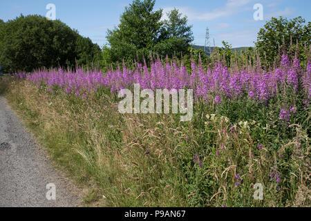 Large banks of Rosebay willowherb or fireweed Chamaenerion angustifolium uncut flowering on roadside verge Scotland UK - Stock Photo