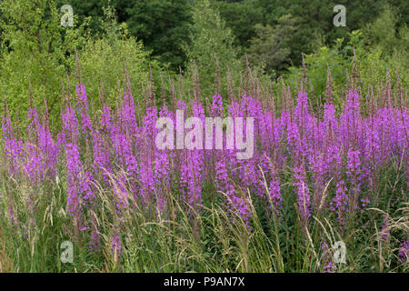 Large banks of Rosebay willowherb or fireweed Chamaenerion angustifolium Scotland UK - Stock Photo