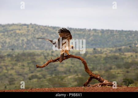 Tawny Eagle Aquila rapax landing on an old dead tree branch in South Africa - Stock Photo