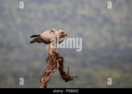 Tawny Eagle Aquila rapax poised on the top of an old tree prior to hunting - Stock Photo
