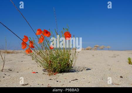 red poppy at the beach of Tristinika, Sithonia, Chalkidiki, Greece - Stock Photo