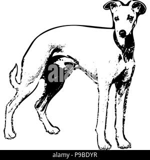 Black and white vector graphic of Whippet side-on. - Stock Photo