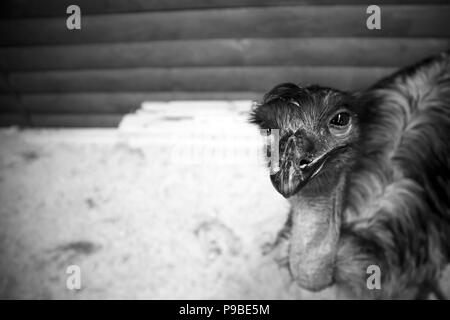 Funny cute australian emu in a wooden cage at the zoological garden - Stock Photo