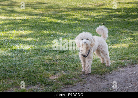 little white poodle dog standing in green grass in Portugal - Stock Photo