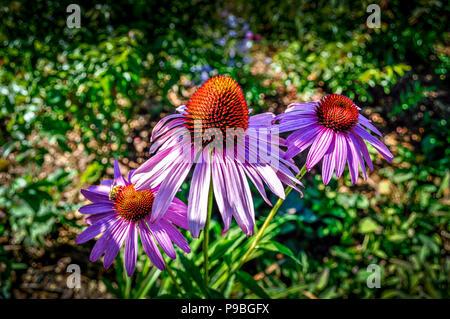 Three purple Coneflowers - Stock Photo