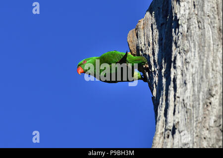 An Australian, Queensland Scaly-breasted Lorikeet ( Trichoglossus chlorolepidotus ) hanging out horizontally from the side of a dead tree trunk - Stock Photo
