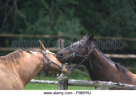 Horse play - Stock Photo