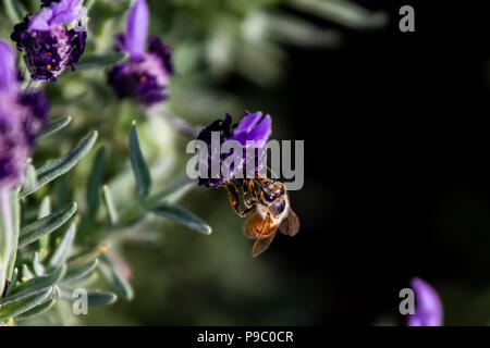 a hungry honey bee visits budding rosemary flowers in Yamashita park in Yokohama in late spring. - Stock Photo