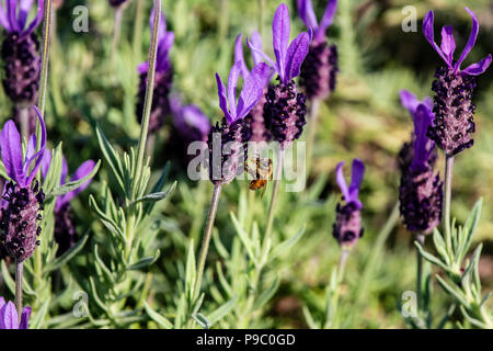 a honey bee visits budding rosemary flowers in a park in Yokohama - Stock Photo