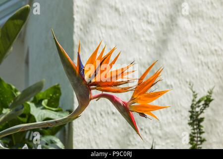 Impressive flower of Strelitzia Reginae against a white wall in UK - Stock Photo