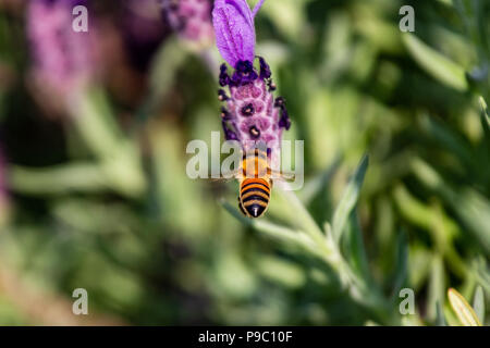 a honey bee prepares to land on a budding rosemary flowers in a park in Yokohama - Stock Photo