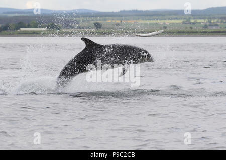Bottlenose dolphin (Tursiops truncatus) chasing/hunting a salmon in the Moray Firth, Chanonry Point, Scotland, UK - Stock Photo