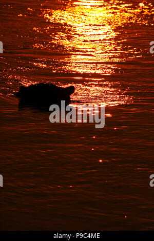 Hippopotamus, Hippopotamus amphibious. Zambezi river. Mana Pools National Park. Zimbabwe - Stock Photo
