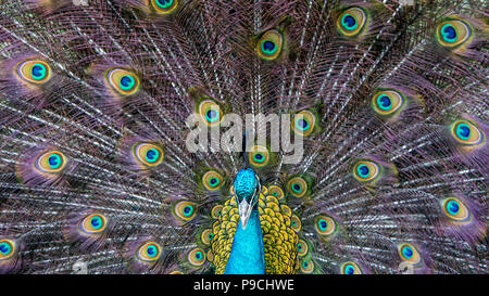 Closeup of a beautiful female Indian blue peafowl. Pavo Cristatus peahen bird, perched on a fence in a green forest. - Stock Photo