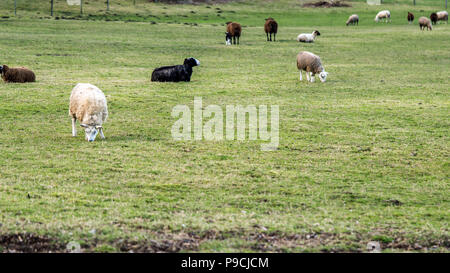 Sheeps eating grass on a green open field. - Stock Photo