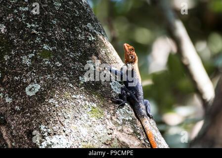 Agamidae, Agama Lizard in Murchison National Park, Uganda, Africa - Stock Photo