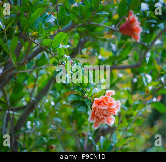 Flowers of a Pomegranate tree (Punica granatum). Blurred background - Stock Photo