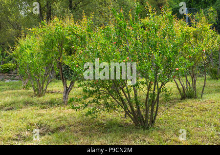 Pomegranate tree (Punica granatum) with flowers in spring - Stock Photo