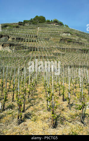 Young vines on a steep hillside vineyard in spring on the banks of the Rhine in the Upper Middle Rhine Valley, Germany, Europe - Stock Photo