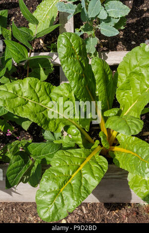 Healthy, yellow stalk Swiss chard growing organically in a raised bed garden. - Stock Photo
