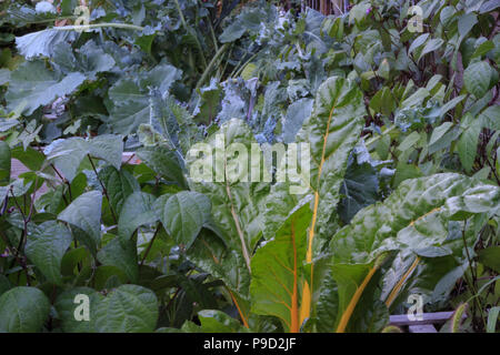 Beans, collard greens, kale and Swiss chard healthily growing in a square foot garden. - Stock Photo