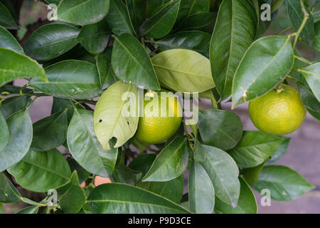 citrus sinensis plant tree leaves leaf with ripe orange fruit hanging close up - Stock Photo