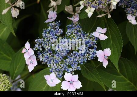 Tea of heaven plant - Stock Photo