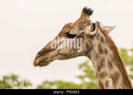 Close up profile shot of a giraffe in South Africa - Stock Photo