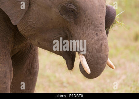 Face of an elephant in Minneriya National Park in Sri Lanka. Elephants (Elephas maximus) are renowned for congregating around the reservoir in Minneri - Stock Photo