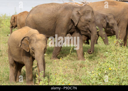 Elephant in Minneriya National Park in Sri Lanka. Elephants (Elephas maximus) are renowned for congregating around the reservoir in Minneriya National - Stock Photo