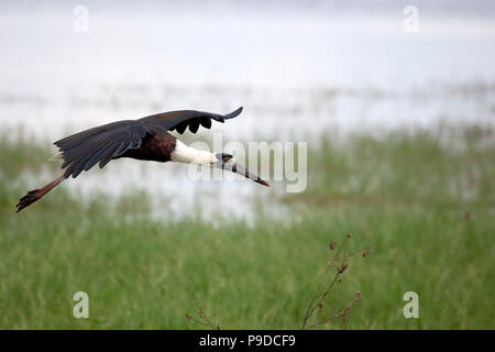 A whitenecked stork (Ciconia episcopus), also known as the woolly-necked stork, in Minneriya National Park in Sri Lanka. - Stock Photo