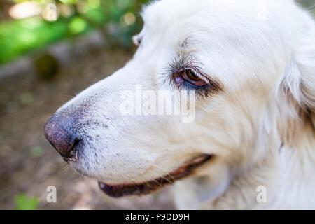 White Polish Tatra Sheepdog portrait in nature - Stock Photo
