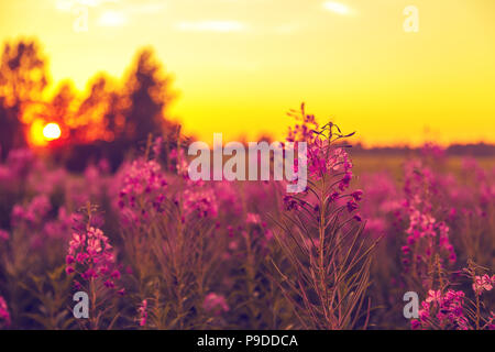 Purple field of blooming sally  at sunset.   - Stock Photo