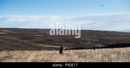 Shooting Red Grouse on an Estate in North Yorkshire, late in the season. Yorkshire Dales, UK - Stock Photo