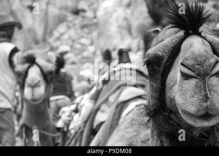 Closeup of a Camel with an Expression of boredom on its face waiting for customers in the ancient rock city of Petra, Jordan, Middle East - Stock Photo