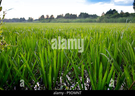 Stratiotes aloides, water soldier rare water merged serrated aquatic plant. - Stock Photo