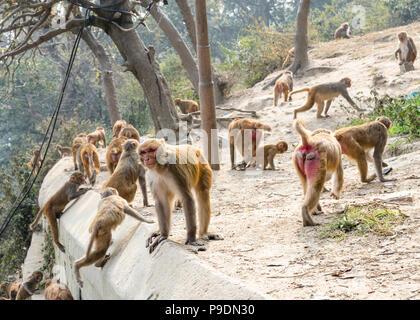 Group of Rhesus Macaque (Macaca Mulatta) monkeys at the grounds of Pashupatinath temple, Kathmandu, Nepal - Stock Photo