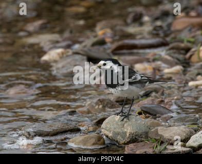 Pied Wagtail, Motacilla alba, with insect stood on a stone on edge of Loch Lomond, Scotland, UK - Stock Photo