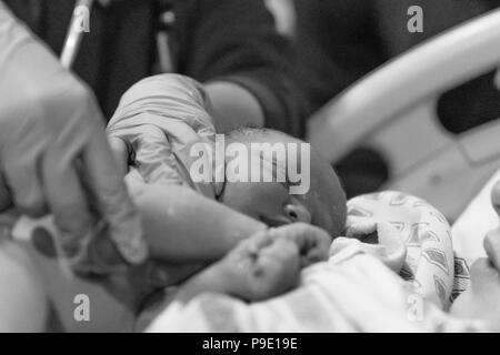 The miracle of life unfolds as Miss Kallie makes her way into the world - Stock Photo
