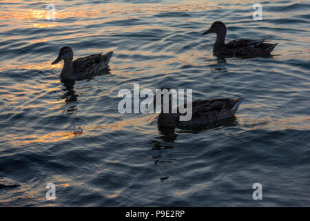 A group of ducks swimming in the Balaton Lake in the evening in Hungary - Stock Photo