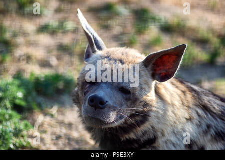 Tired hyena looks into the camera. Photo portrait of a wild animal. - Stock Photo